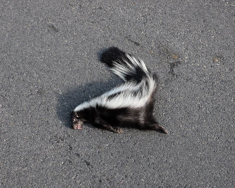 A dead skunk in the middle of the road.
