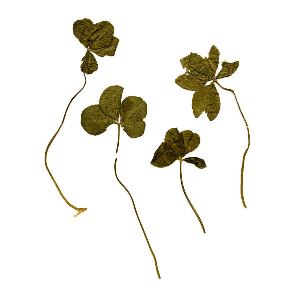The four clovers Menjivar found in a book in Ft. Wayne, IN.