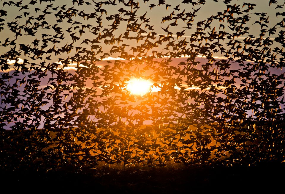 A large flock of starlings fly illuminated by the setting sun near Bacau, north eastern Romania, Tuesday, Dec. 10, 2013. Larg