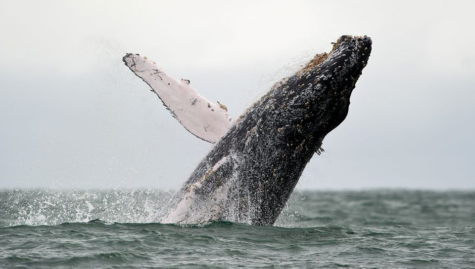 A Humpback whale jumps in the surface of the Pacific Ocean at the Uramba Bahia Malaga natural park in Colombia, on July 16, 2