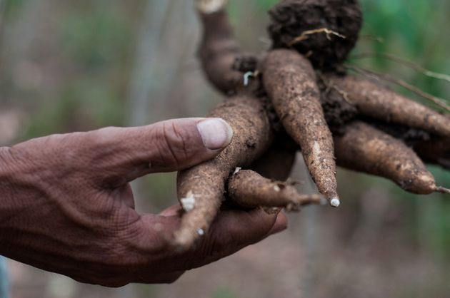 Cassava is used in the starch industry throughout Southeast Asia to make products from noodles to pharmaceuticals,...