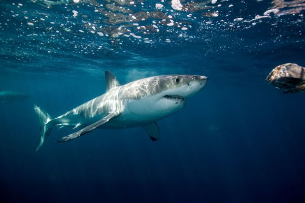 1,300-Pound Great White Shark Named Hilton Spotted Near Florida
