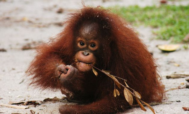 Kesi, a Bornean orangutan, was found missing a hand in 2006. Rescuers believe her mother was killed and...