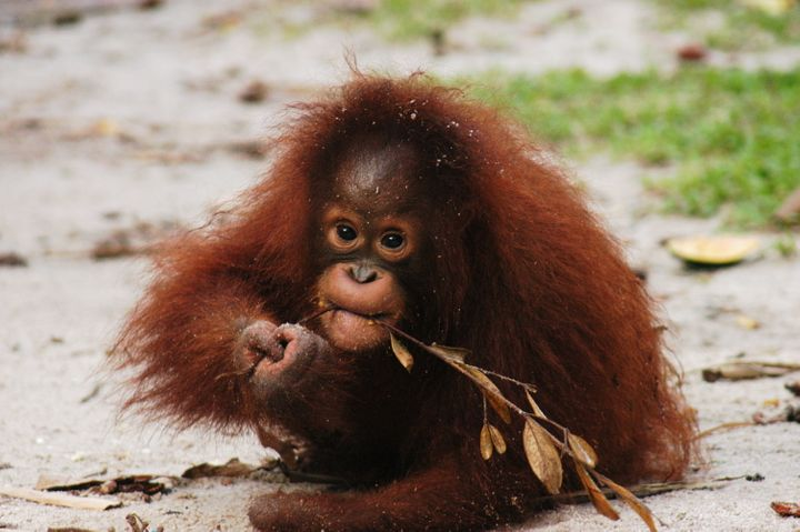Kesi, a Bornean orangutan, was found missing a hand in 2006. Rescuers believe her mother was killed and their forest home destroyed.