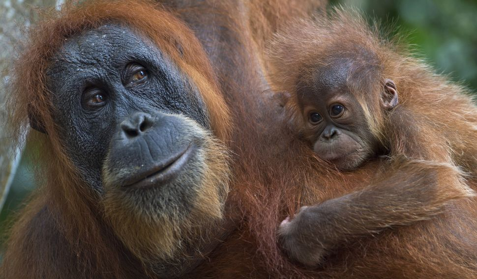 A critically endangered Sumatran orangutan with a baby clings on tree branches in the forest of Bukit Lawang, part of the vas