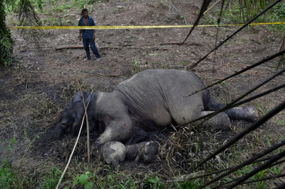 A carcass of an endangered Sumatran elephant is seen in a palm oil plantation in Blang Tualang village in Aceh province,