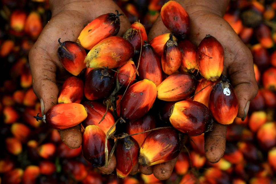 A worker holds a handful of palm oil seeds in Serba Jadi, East Aceh, Indonesia, on December 11, 2010.