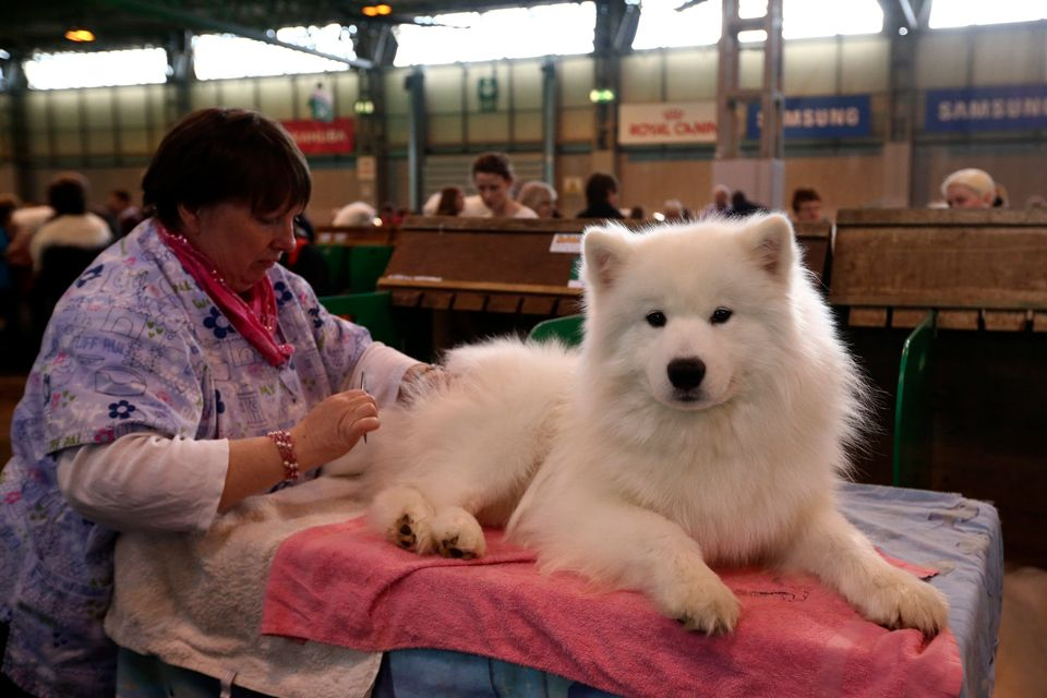 BIRMINGHAM, ENGLAND - MARCH 06:  A Samoyed is groomed on the second day of Crufts dog show at the National Exhibition Centre