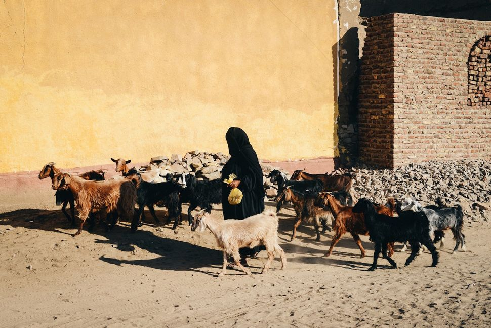 An old Nubian woman on Seheil Island is moving her goats to leave room for the guests coming for a wedding taking place on th