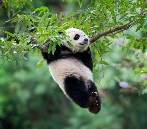 Panda cub Bao Bao hangs from a tree in her habitat at the National Zoo in Washington, Saturday, Aug. 23, 2014. Today marks he