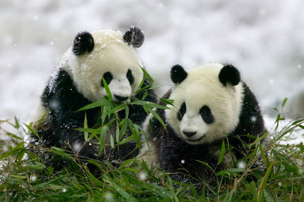 AJC9T9 Giant Panda Cubs in Snowfall