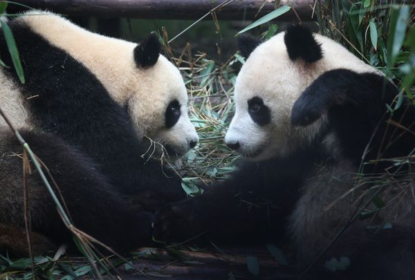 CHENGDU, CHINA - JUNE 30:  Giants pandas pause from eating bamboo in an enclosure at the Chengdu Research Base of Giant Panda