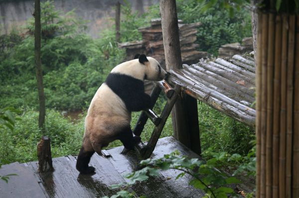 YA'AN, CHINA - JUNE 29:  A giant panda climbs onto a platform at the panda research base on June 29, 2015 in Ya'an, China. Ch