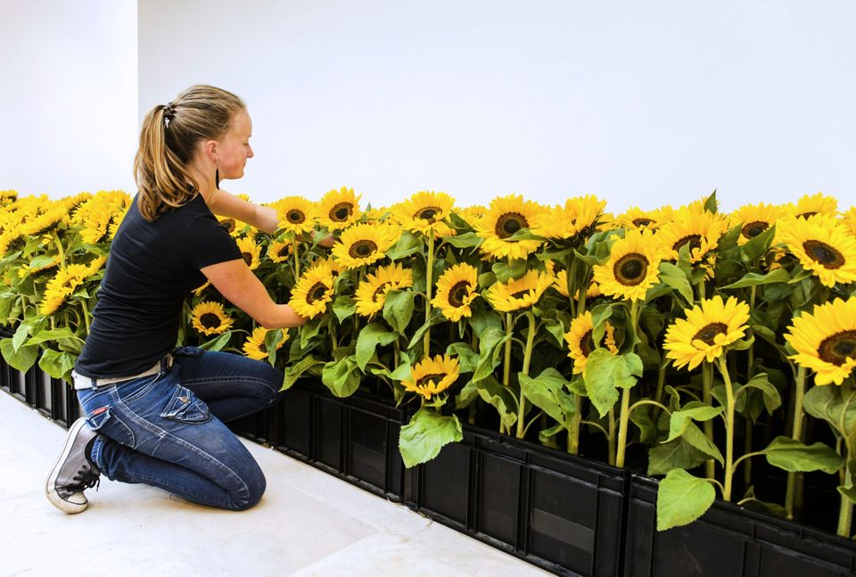 A woman sets up sunflowers in memory of Malaysia Airlines flight MH17 victims at the Museum Jan van der Togt in Amstelveen, T