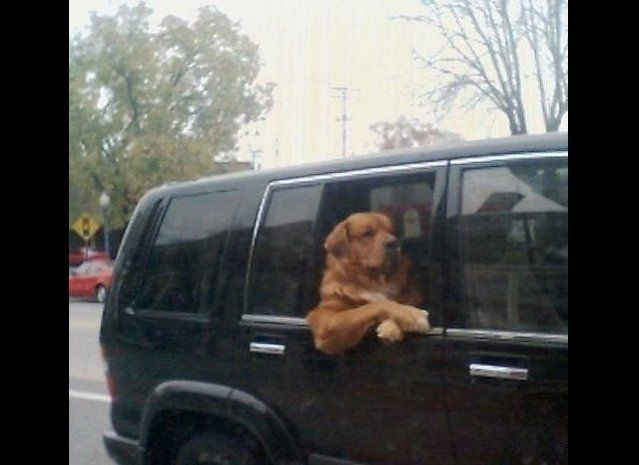 "Driver, take me to get some tasty treats at once. (Via <a href=""http://animalsdoingpeoplethings.tumblr.com/post/551835089/via"