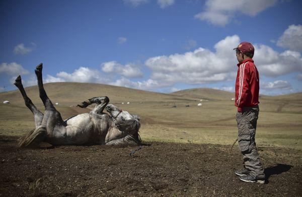 Purevsurengiin Togtokhsuren watchesa horse rolling in the dirt after a training session. AFP PHOTO / JOHANNES EISELE&nb