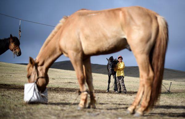 Purevsurengiin taking care of the horses. AFP PHOTO / JOHANNES EISELE
