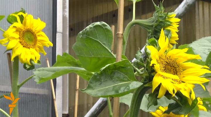 The sunflowers bloom in Hilversum.