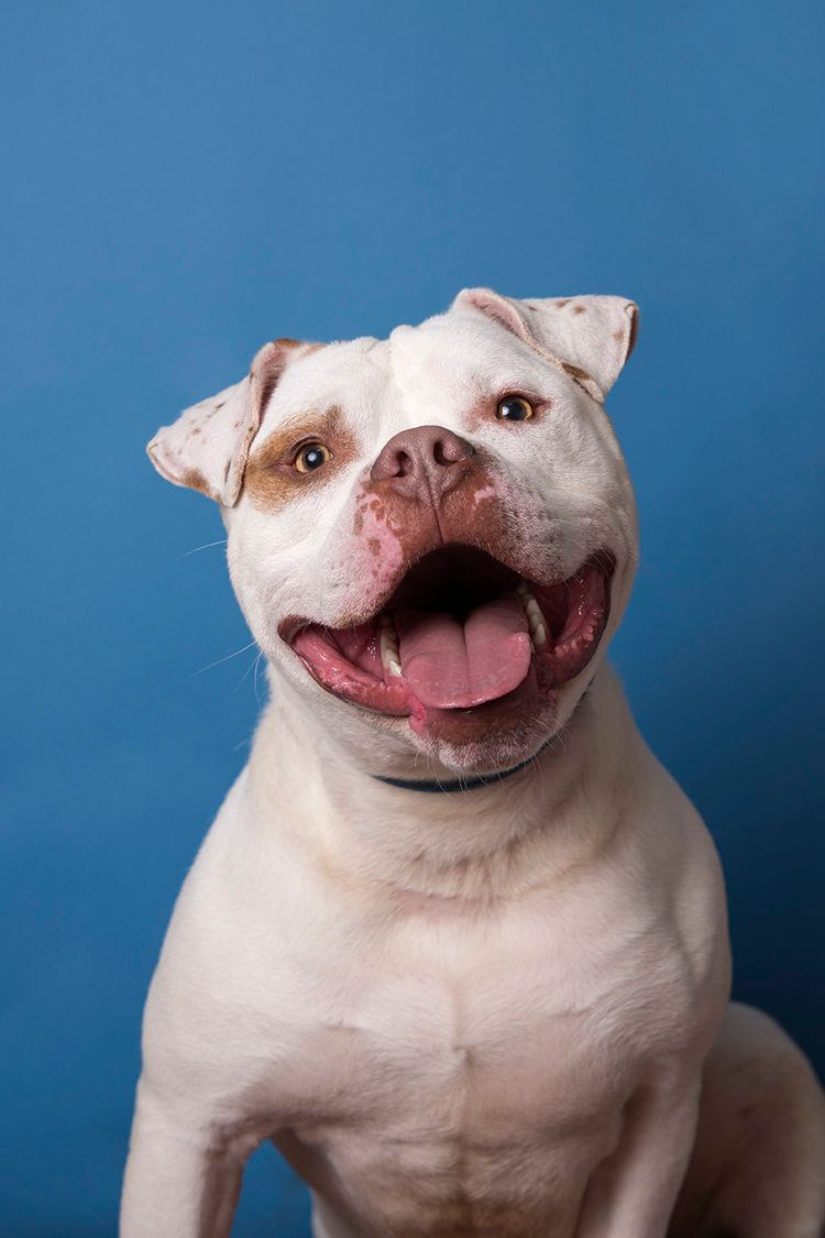 Dudley is a 1.5-year-old American bulldog mix who has the heart and energy of a puppy. He approaches every moment of life wit