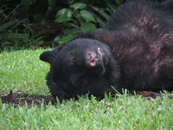 A black bear fell asleep in a yard in Seminole County, Florida, after stealing and eating about 20 pounds of dog food fr