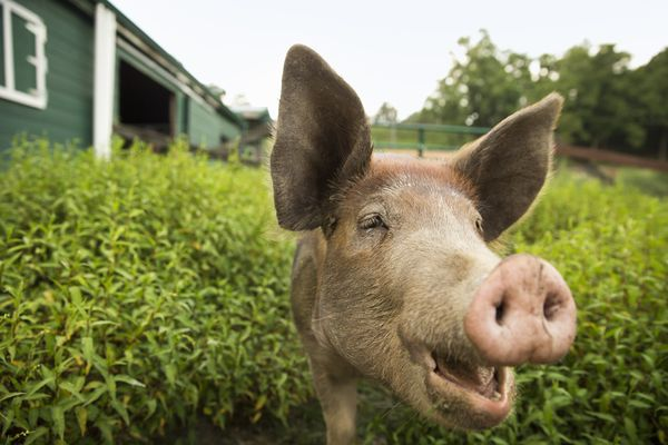 Couple Adopts Pet Pig From Animal Shelter Only To Kill And