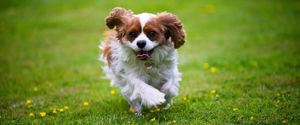 CAVALIER DOG HAPPY KING CHARLES PLAYFUL RUNNING TO
