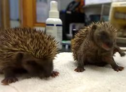 Baby Hedgehogs Sneezing: Do We Need To Say More?