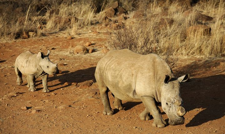 Some drastic measures taken to protect rhinos from poaching include dehorning. But the process needs to be repeated every few