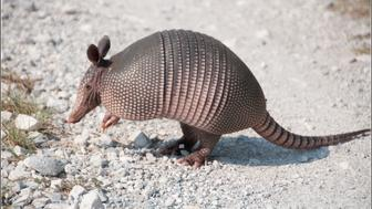 Aubrey, TX - An armadillo hanging out on the FM428 Greenbelt trail.  He's a little less menacing than the critter in my last picture.