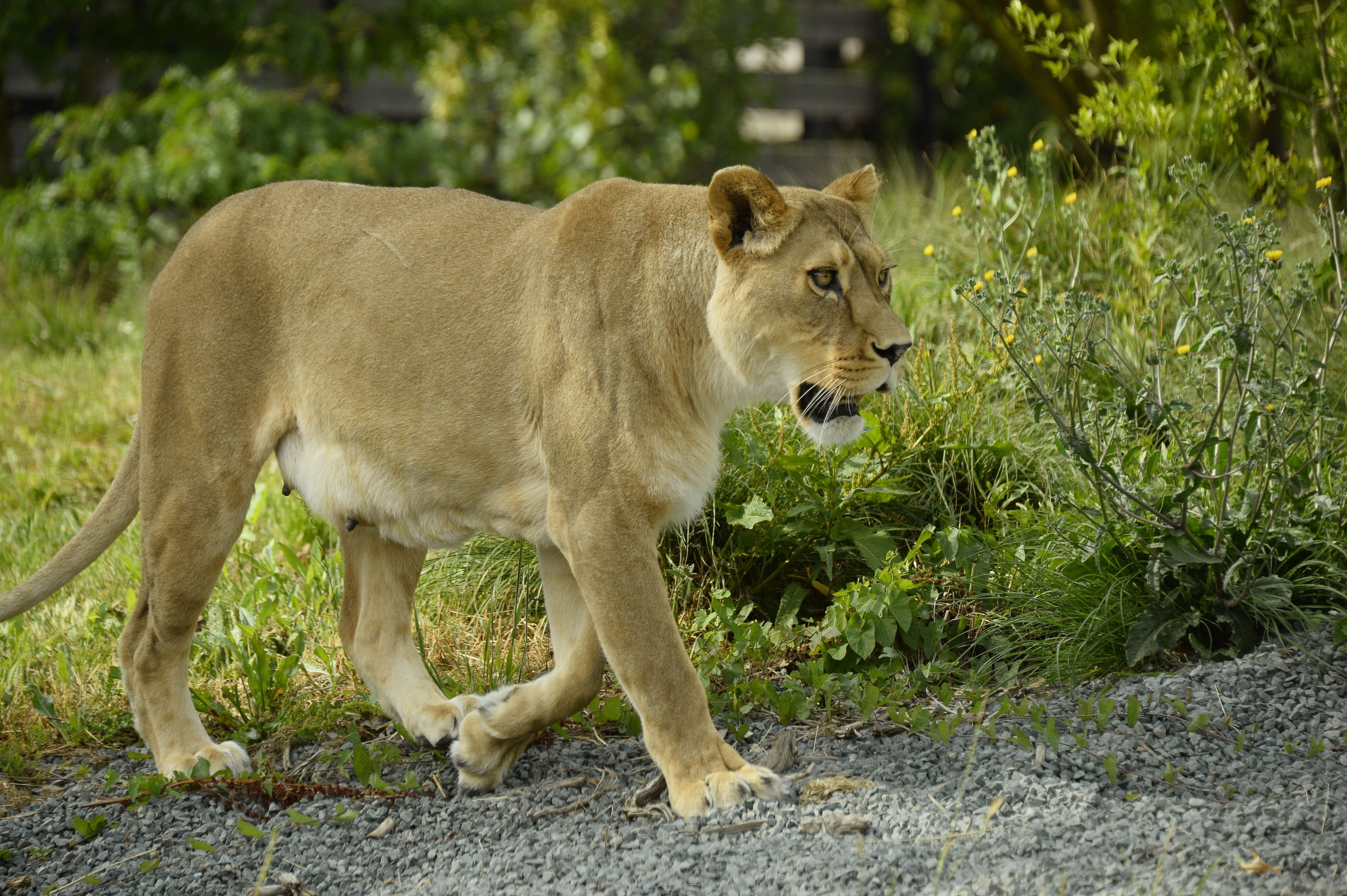 <p>There are reports of a lion on the loose in Milwaukee. This is not that lion.</p>