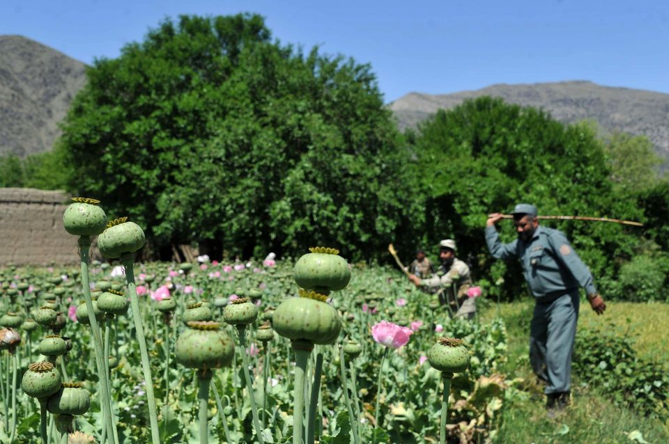 An Afghan security force member destroys an illegal poppy crop in the Noor Gal district of eastern Kunar province on April 29