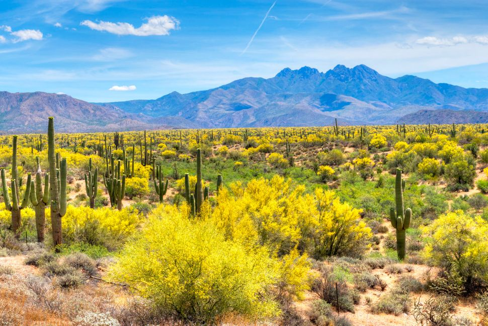 """A <a href=""""http://www.blm.gov/az/st/en/prog/blm_special_areas/natmon/son_des.html"""">huge cactus forest and three mountain rang"""