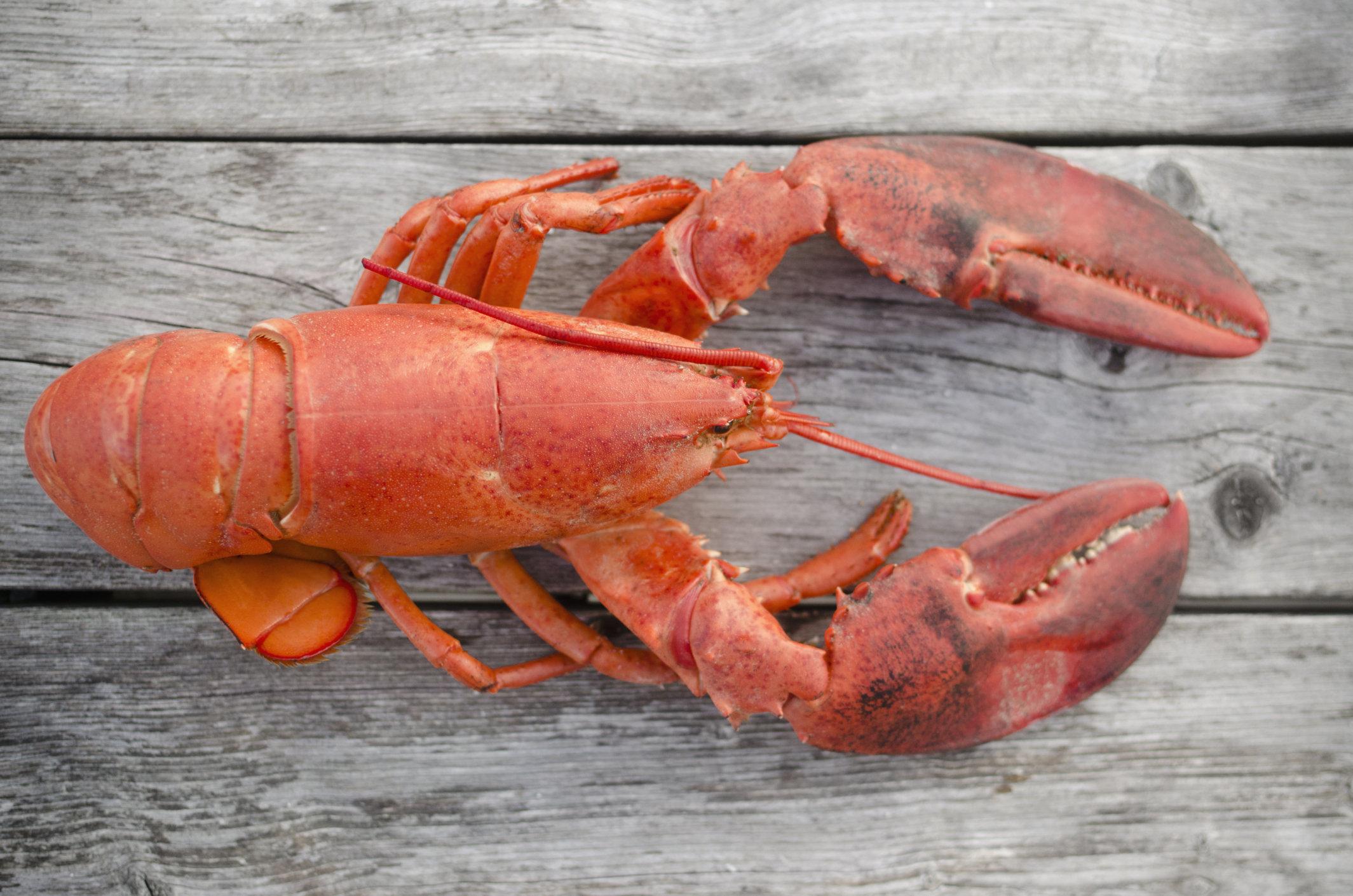 USA, Massachusetts, Plymouth, Raw lobster