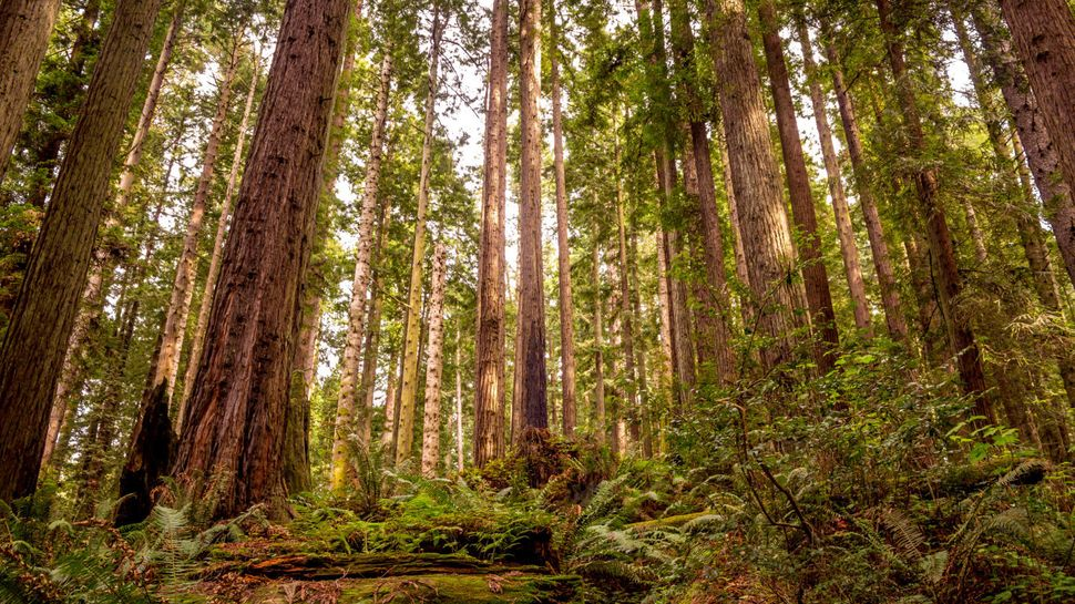 """You'll get lost (in a good way) in this expanse of redwood trees that are <a href=""""http://www.parksconservancy.org/visit/park"""