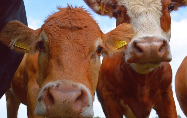 Cows Are Way More Intelligent Than You Probably