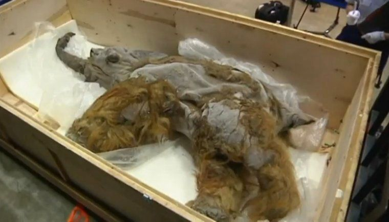 An extraordinarily well-preserved woolly mammoth uncovered in Siberia was revealed to the public for the first time this week
