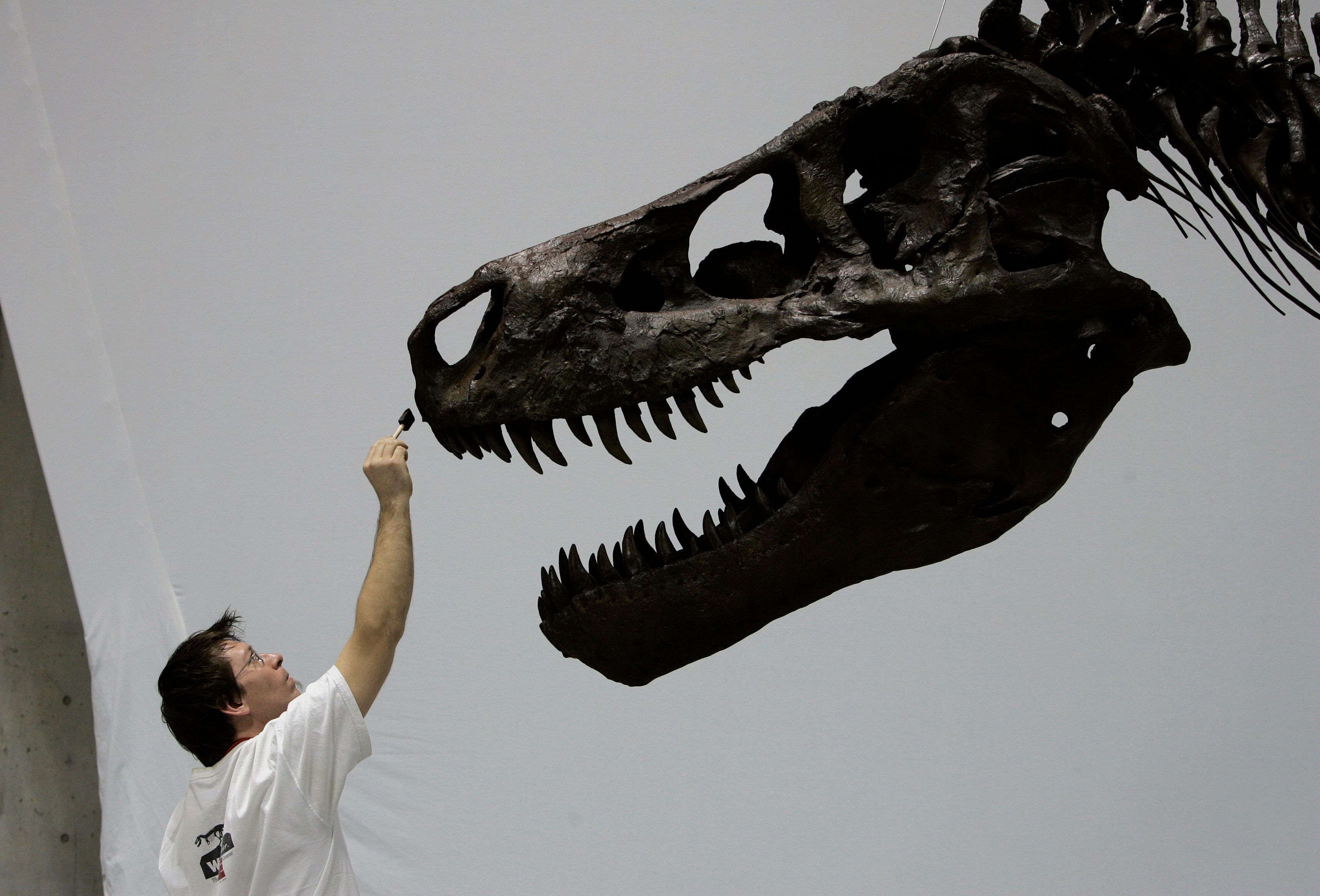 <p>David Hanke, an officer from the Exhibition Department of the Field Museum in Chicago, withthe skull of the world's largest Tyrannosaurus rex specimen, named Sue. AFP PHOTO/TOSHIFUMI KITAMURA (Photo credit should read TOSHIFUMI KITAMURA/AFP/Getty Images)</p>