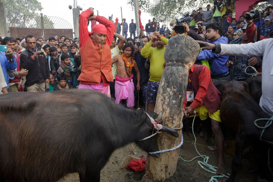 In this photo, a buffalo is brought to be the first sacrifice during the Gadhimai Festival in Bara, Nepal on Friday, November