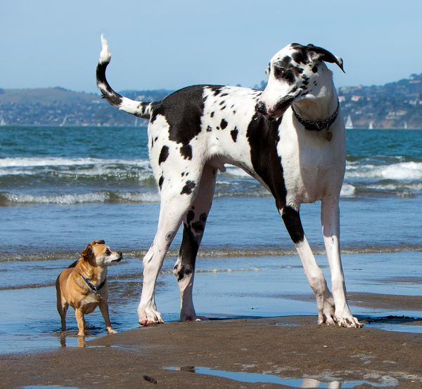 "They're called ""great"" for a reason. This dependable and friendly dog breed <a href=""http://www.animalplanet.com/breed-s"