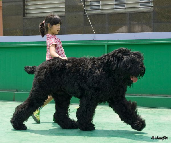 "<a href=""http://www.akc.org/dog-breeds/black-russian-terrier/"">These mighty terriers are a loyal bunch</a>; they grow to beco"