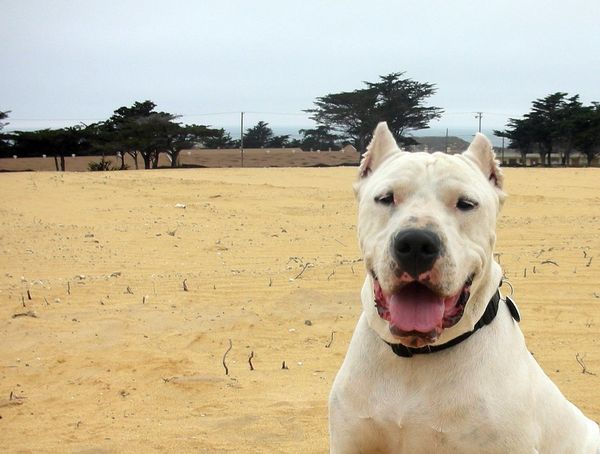 "Dogos are <a href=""http://www.akc.org/dog-breeds/dogo-argentino/"">cheerful, humble and friendly</a>, according to the Am"