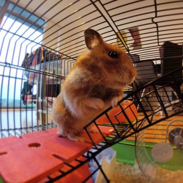 """A hamster in the study playing in its """"enriched"""" environment."""