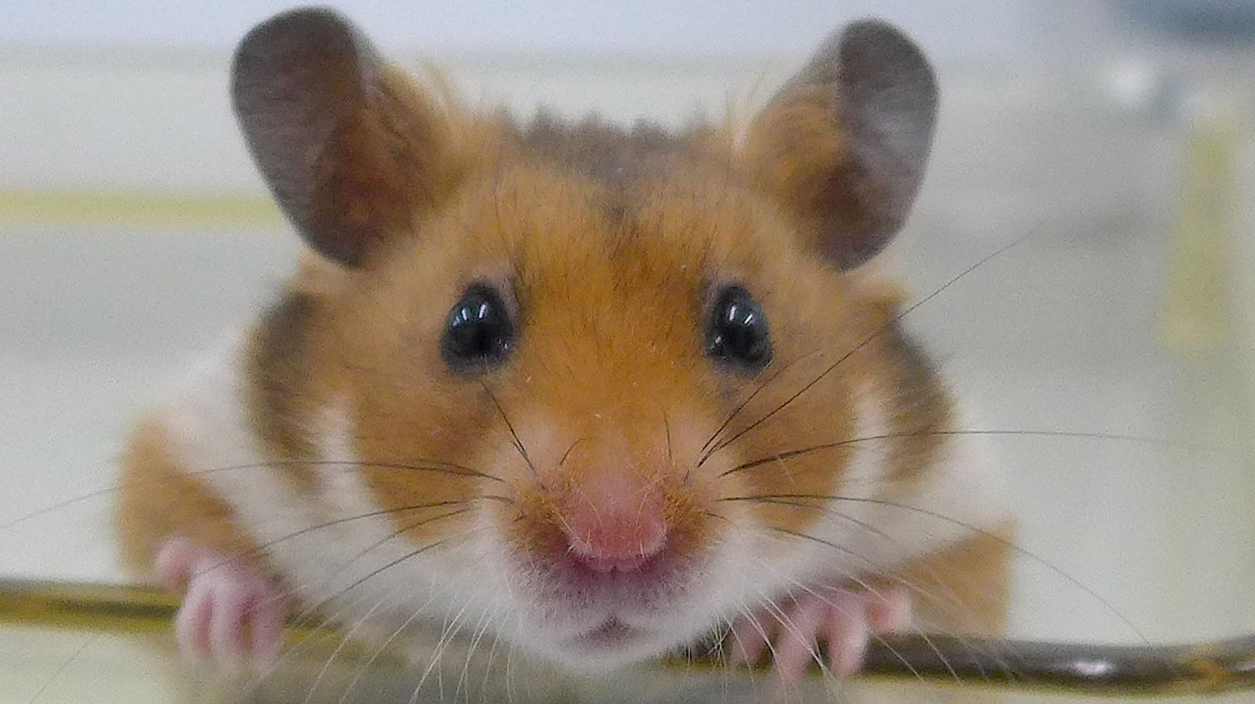 How To Tell If Your Hamster Is Happy | HuffPost