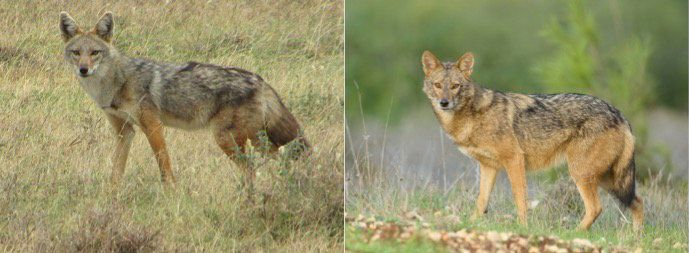 The African golden wolf is on the left and the golden jackal of Eurasia is on the right. The two were previously thought to b