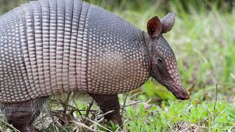 Nine-banded Armadillo (Dasypus novemcinctus) in Florida Some of my other popular photos: