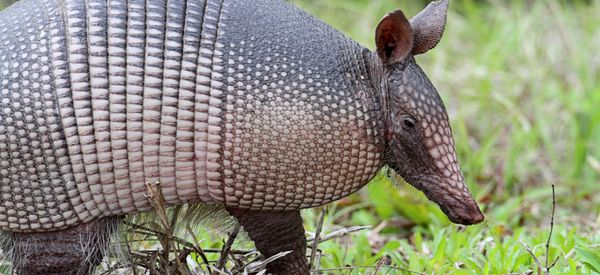 Texas Man Injured By Ricocheting Bullet While Shooting At Armadillo