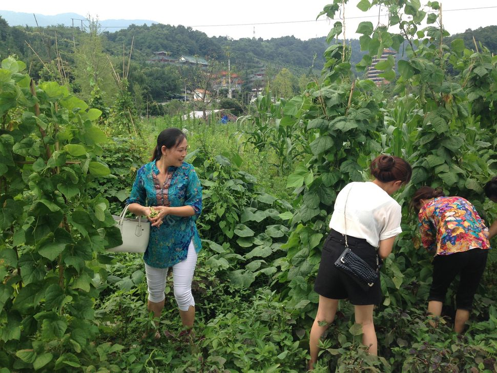 Li Min and other Tianwang volunteers pick vegetables as a gift for Huang Qi.