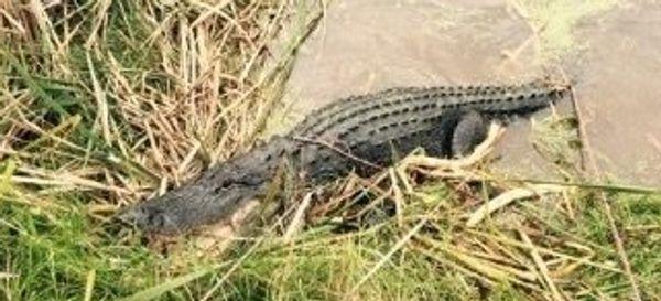Alligator Bites 'Chunk' Off Man's Leg At Florida Tourist Attraction