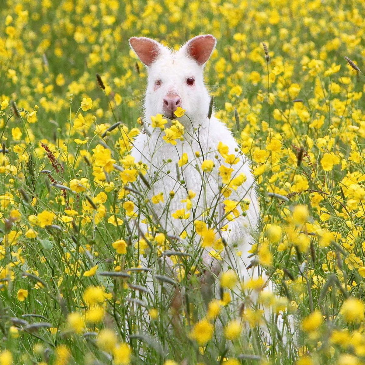 This rare albino wallaby was recently seen hopping around the British countryside.
