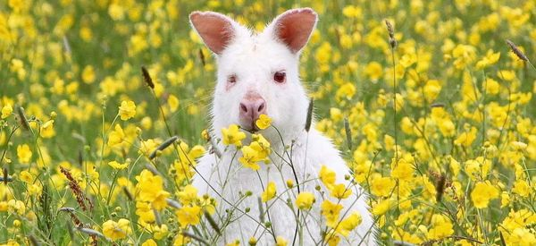 Rare Albino Wallaby Seen Hopping Around British Countryside